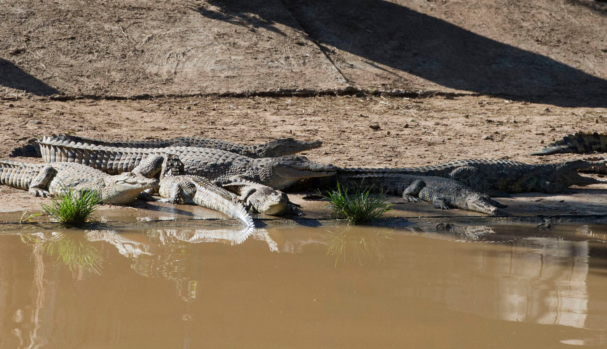 Some recaptured crocodiles on South Africa's Rakwena Crocodile Farm on Wednesday. Credit Associated Press